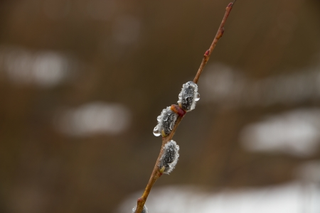 woken: Flower buds of willow had just woken up at the first spring thaw, spring melt