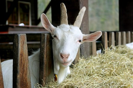 Goat looking into the camera with a questioning look