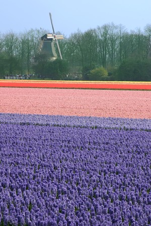 Field of hyacinths with windmill behind it. Stock Photo - 4087941