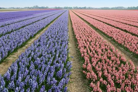 Field of hyacinths. Stock Photo