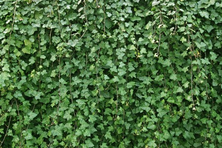 Wall of ivy.