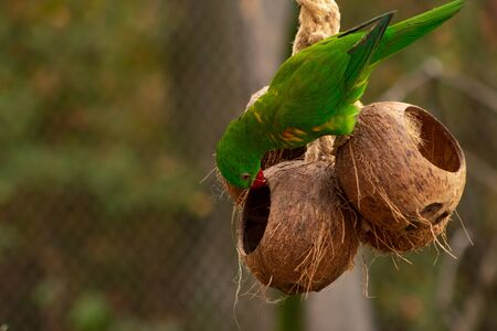 A parrot stands downside down on a coconut and pecks in another coconut. Agapornis taranta