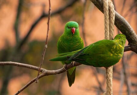 parrots sitting on a tree branch opposite each other. Agapornis taranta