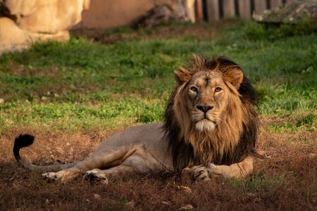 Persian lion resting in the shade. Panthera leo