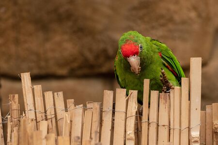 Andean Macaw Parrot stands on bamboo laths. (Psittacara Frontatus)