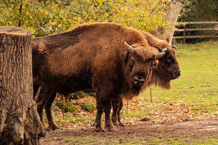 Dos búfalos de pie en un parque desde el que se mira directamente, se mira a su alrededor. Bison bonasus