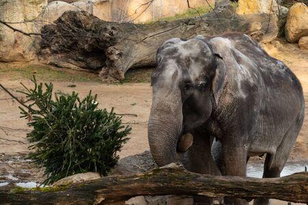 velký indický slon se stromečkem