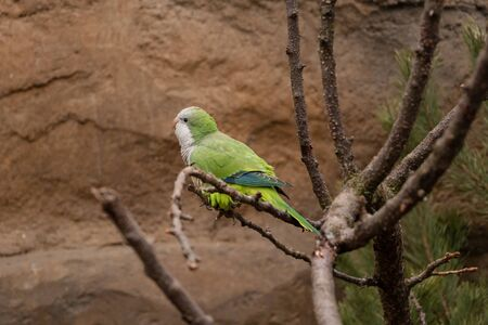 Monk parakeet (Myiopsitta monachus), also known as Quaker parrot, is a species of true parrot in the Psittacidae family. Stock fotó