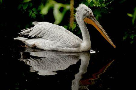 white pelican swims on water Banco de Imagens - 138335131