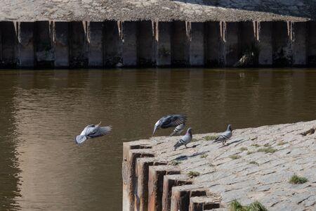Pigeons near the river bank. Stock fotó