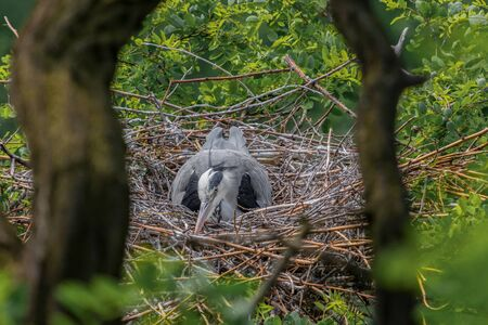 Gray heron sitting in nest and warming up eggs. View of a heron through the branches. (Ardea cinerea) Banque d'images