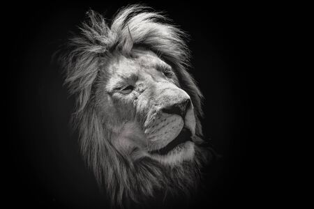 Portrait of a beautiful lion with eyes closed, on the black background. King of animals Stock fotó