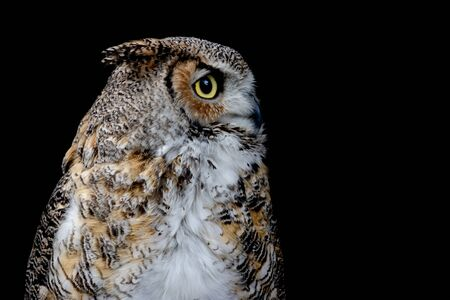 Portrait of a Great Horned Owl from the profile on the black backround. (Bubo virginianus)