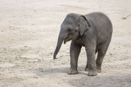 View of a young Indian elephant standing on a sandy surface. (Elephas maximus).