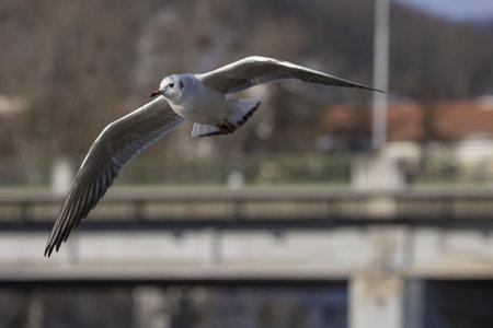 Flying black-headed gull in the background of the road bridge. (Chroicocephalus ridibundus)
