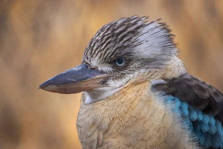 Portrait of male blue-winged kookaburra. Close -up portrait. (Dacelo leachii)