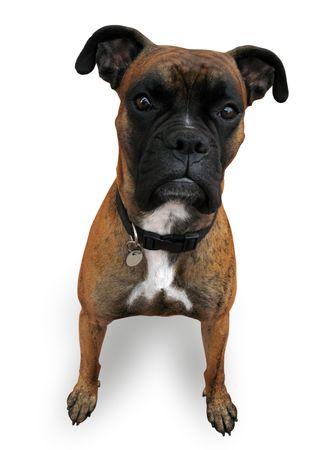 Boxer Lizenzfreie Bilder