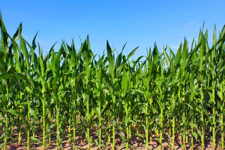 crop  stalks: green maize field