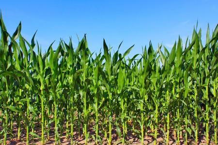 crop  stalks: green maize field