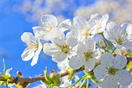 spring cherry blossom Stock Photo - 12306070