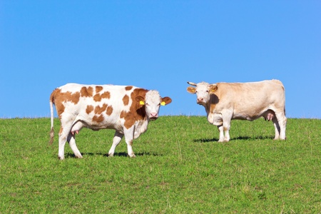 Cows on pasture Stock Photo - 12306074