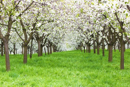 cherry orchard Stock Photo - 12964162