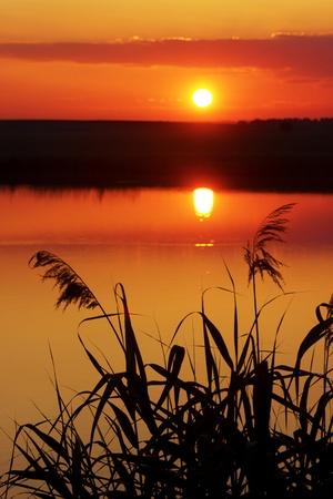 rietkraag: zomer zonsondergang