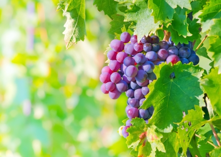 grape bunch photo