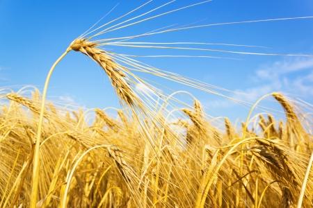 wheatfield: golden wheat on a grain field