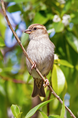 passer    by: House Sparrow female (Passer domesticus)