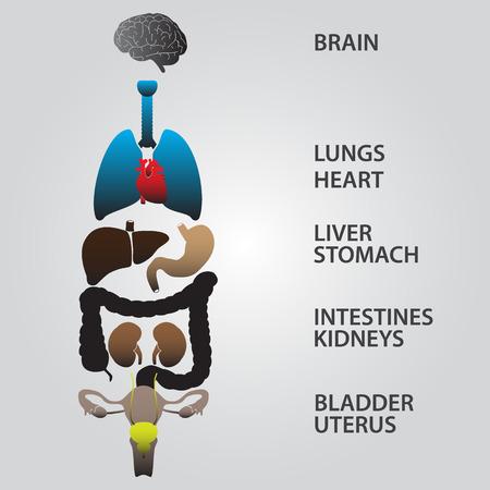 내부 인간의 신체 기관의 EPS10 착색