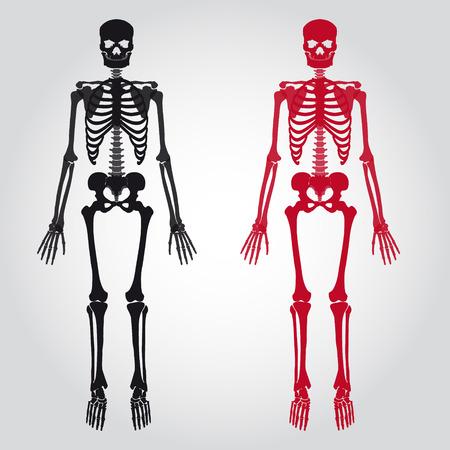 skeletons - human bones set Vector