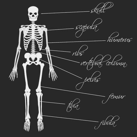 white human bones skeleton with description Illustration