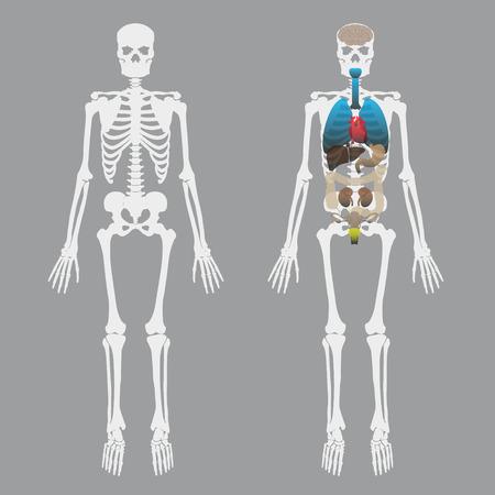esqueleto: blanco huesos humanos esqueleto con los órganos humanos Vectores