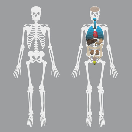 human skeleton images & stock pictures. royalty free human, Skeleton