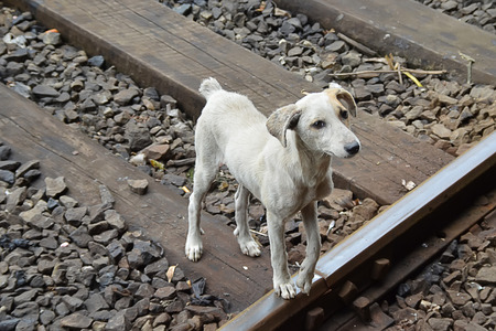 emaciated: ugly wild grey dog on the train road