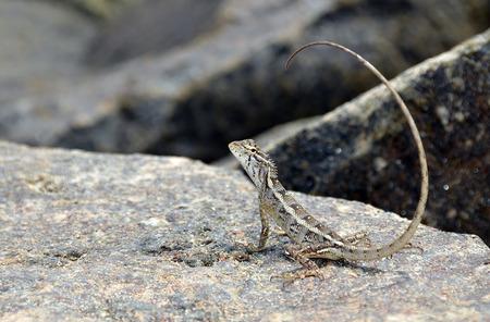 lagartija: peque�o lagarto con la cola larga en la roca en la naturaleza detalle de la foto
