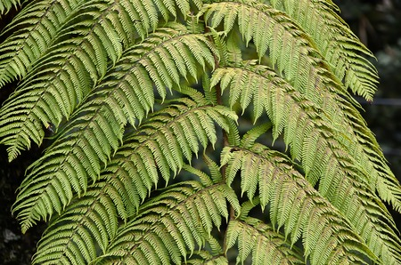 fern  large fern: green fern plant leaf in nature photo