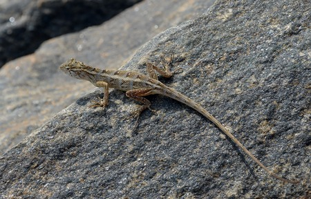 long toes: long tail little lizard on the rock in nature