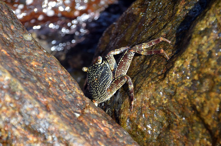 eyes hidden: big crab on the rock by the sea Stock Photo