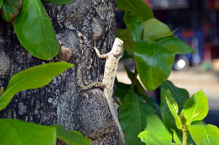 long toes: lizard in nature climbs on the old tree