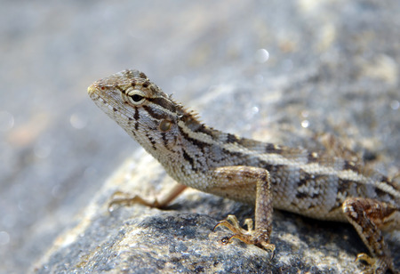 long toes: little lizard on the rock in nature detail macro photo