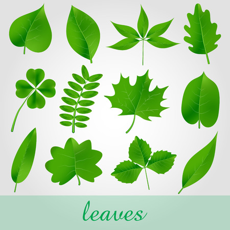 basswood: natural green beautiful leaves icon set eps10