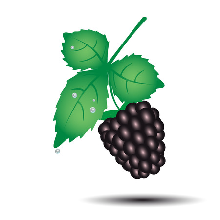 wallop: colorful blackberry summer fruit with leaf
