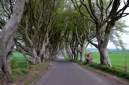 hedges: dark Hedges stretch of road beech trees Stock Photo