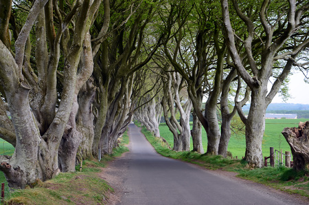 trees photography: dark Hedges Beech trees nature landscape photography
