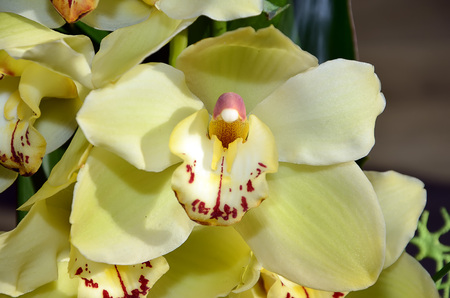 color photography: detail of yellow orchid flower color photography
