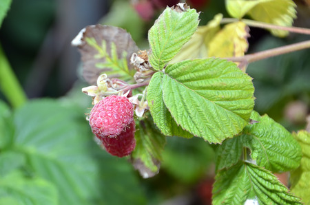 color photography: detail of red raspberry with leaves color photography Stock Photo