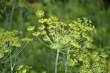 detail of dill flowering in garden photography