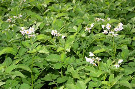 color photography: flowering potato in the field color photography Stock Photo